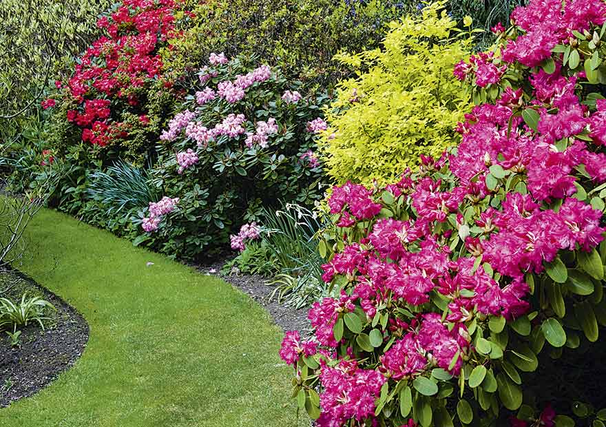 The rhododendrons in full bloom. There are more than 50 species in the garden.