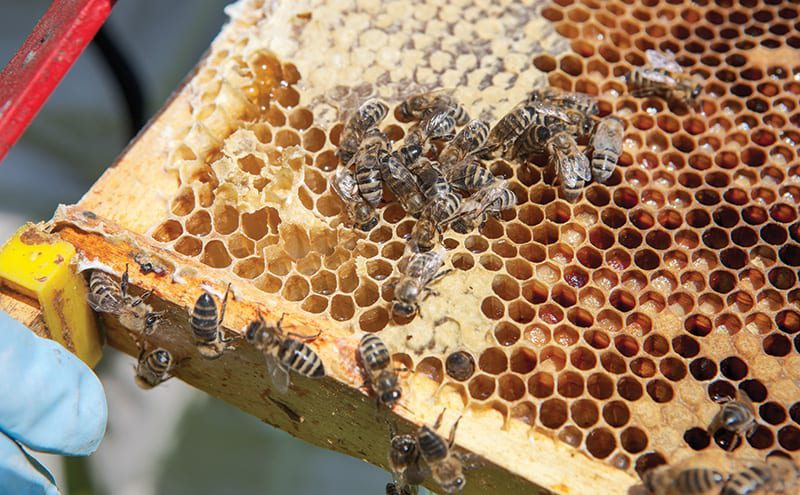 A brood frame showing adult honeybees, uncapped nectar, capped honey and sealed pollen – all used for feeding the larvae and young bees