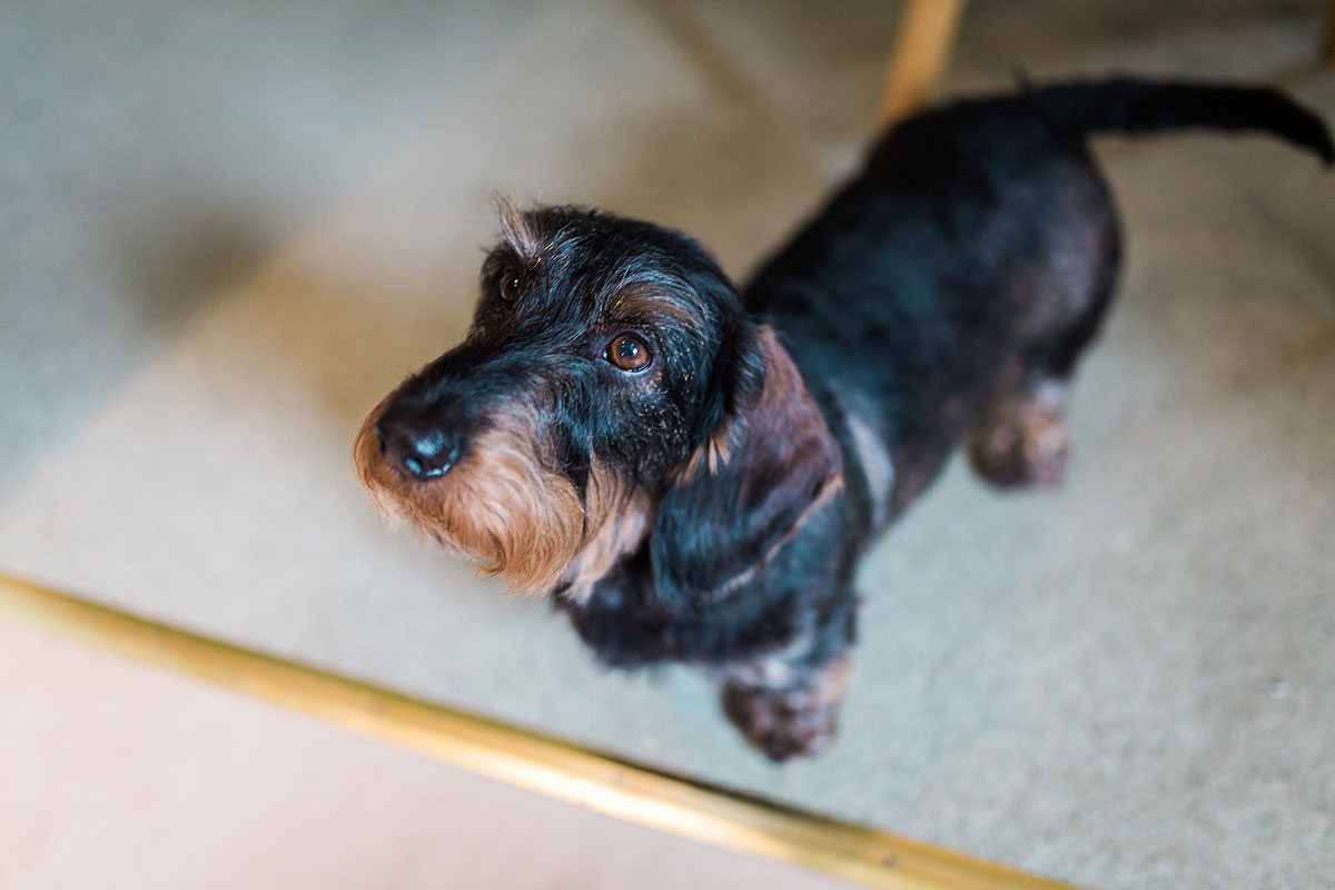 black and brown wire-haired terrier on wedding morning