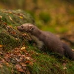 back-from-the-brink-pine-marten