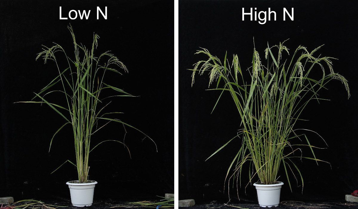 soil-nitrogen-promotes-rice-branching